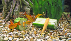 Fish nibbling cucumber with Screwcumber